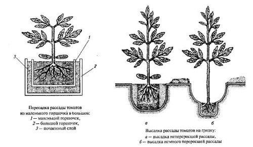 Схема посадки томатов различных сибирских сортов в тепличный грунт.