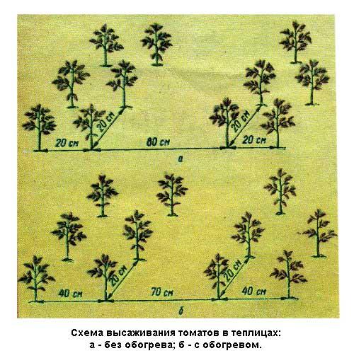 Схема высадки томатов в теплицах: а - без обогрева; б – с обогревом.