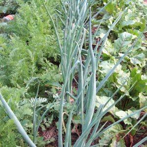 Смешанные посадки лука, моркови и свеклы