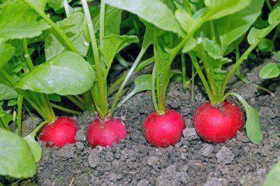 Уже через 3 недели можно снимать урожай