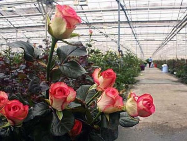 В летний период розы срезают два раза в день, а в зимний – один раз.
