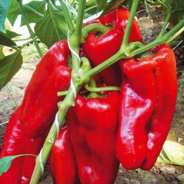 Высокая урожайность перца, удобренного фосфором