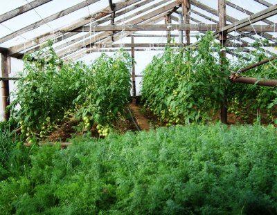 За сезон в одной теплице можно вырастить богатый урожай