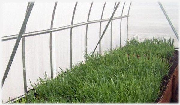 Зеленый лук хорошо переносит соседство почти со всеми овощами, но особенно хорошо лук севок высаживать на перо между рядами ранней моркови.