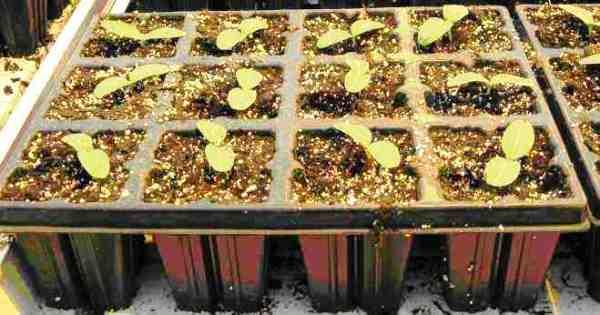 Фото пророщенных огуречных семян.