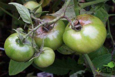 Главный враг томатов - фитофтороз