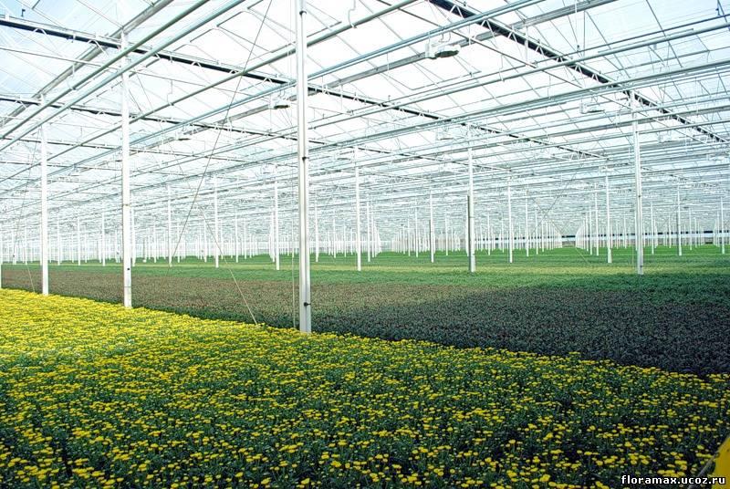 Выращивание хризантем в теплице 25