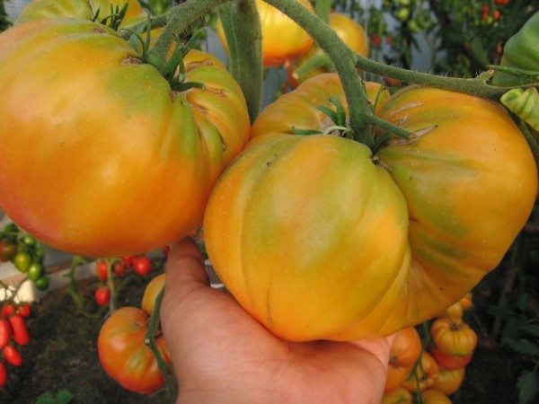 Крупноплодный желтый томат.