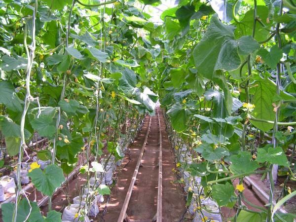 Многие теплолюбивые растения селекционеры «приручили» и к суровому климату.