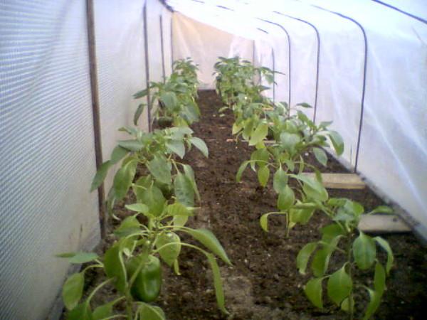 Молодые растения под пленкой