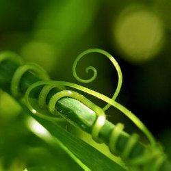 На фото – огуречные усы плотно обвивают соседние стебли