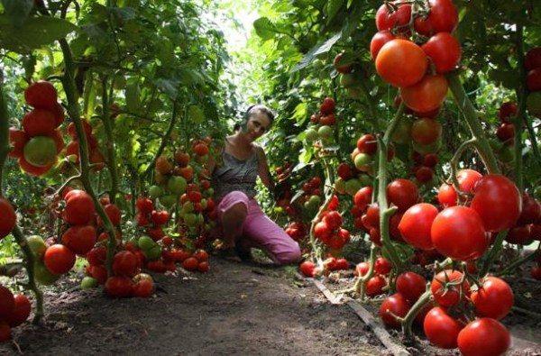 Награда за труды - обильный урожай