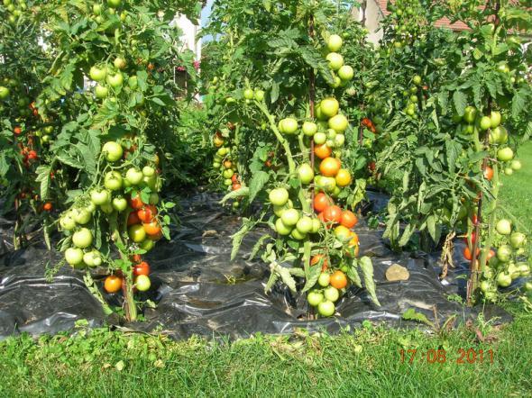 Полудетерминантные растения