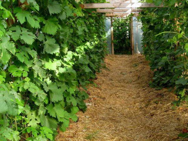 Применение соломы для мульчирования земли в условиях закрытого грунта помогает избавиться от сорняков.