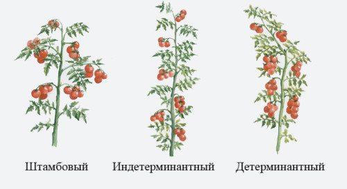 Различные группы томатов по росту.