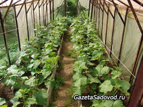 Ряды с огурцами в теплице – через 70 см, а растения – каждые 35 см, это позволит нам легко достать до растений.