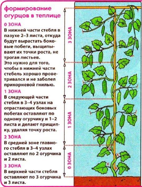 Схема формирования огурцов.