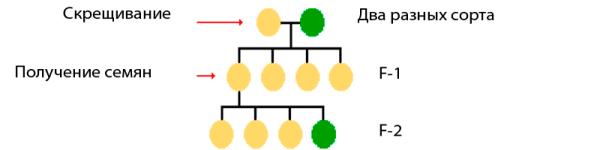 Схема получения растений F1
