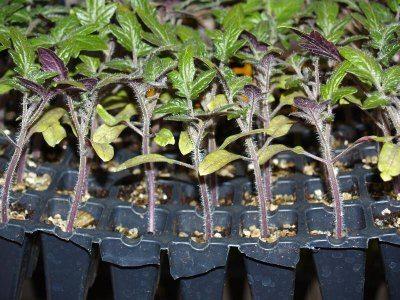 Стебли закаленной рассады приобретают фиолетовый оттенок, как на фото