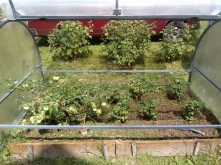 Выращивание малогабаритных сортов томатов