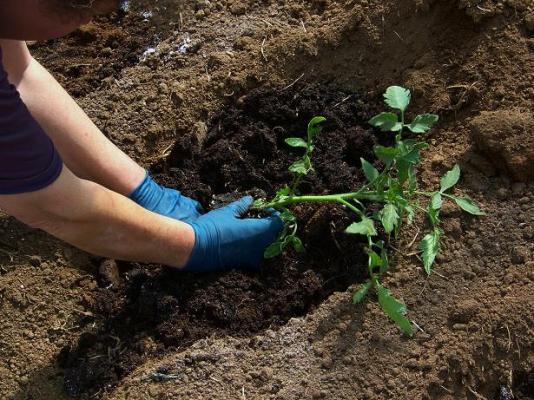 Высадка растения на грядку