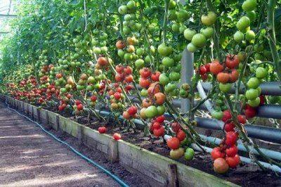 Высокорослые помидоры в промышленной теплице