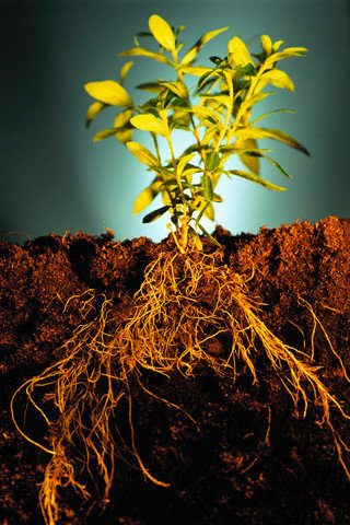Запахиваем на глубину 10 см зеленую массу сидератов до появления их семян.