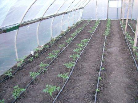 Посадка рассады помидор в теплицу производится рядами