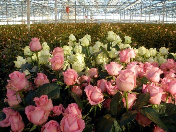 Большая теплица для роз