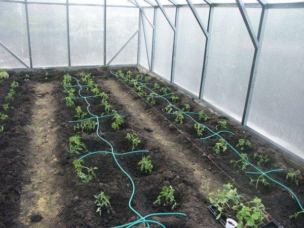 Этой теплице не требуется частая прополка. Полита и удобрена лишь небольшая площадь, занятая корневой системой полезных растений.