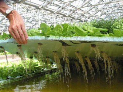 Фото растений выращенных гидропонным методом.