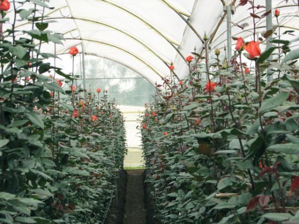 Фото роз с длинным стеблем, выращенных в теплице
