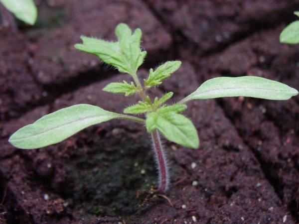 Фото сеянца томата в возрасте 4 недель.