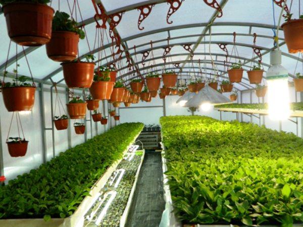 Фото тепличных растений выращенных в горшочках и контейнерах.