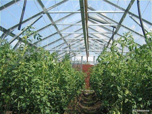 Фото теплицы для выращивания помидоров