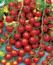 Фото томатов «Сладкая гроздь»