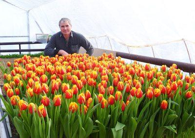 Фото тюльпанов, выращенных в парнике к 8 Марта