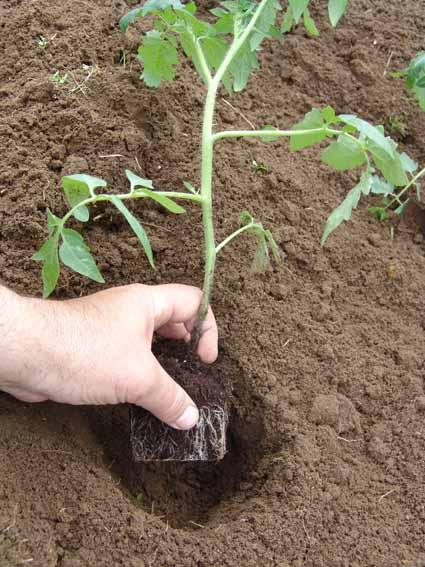 Фото высаживания рассады в прогретый грунт