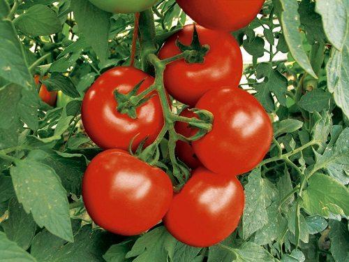 Гроздь созревших томатов