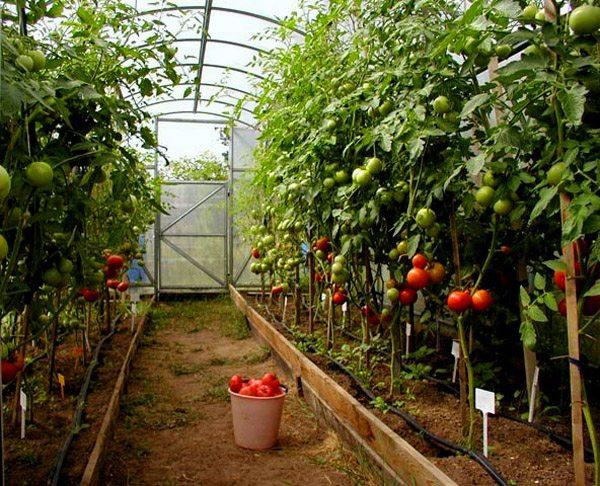 Хороший урожай требует соблюдения правил выращивания.