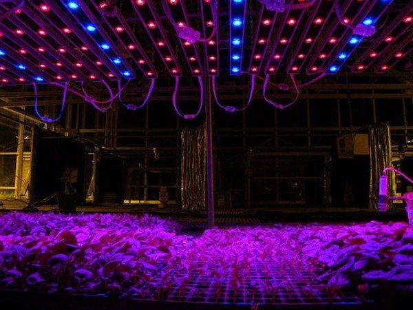 Комбинированное использование синих и красных ламп позволяет достичь максимального эффекта, который обязательно скажется на урожайности