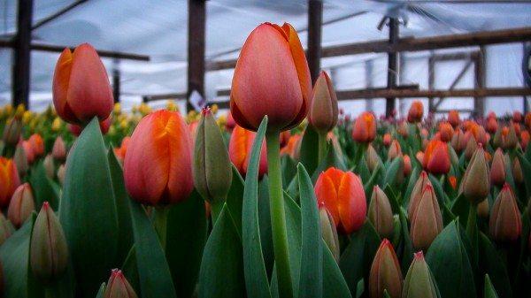 Красивые, яркие и ароматные тюльпаны