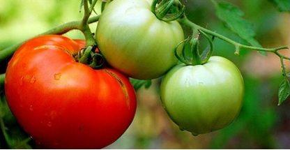 Крупноплодный сорт «Любимый праздник» с мясистыми помидорами.