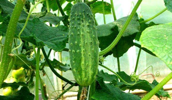 Любимый всеми хрустящий овощ – огурец – можно вырастить в теплице