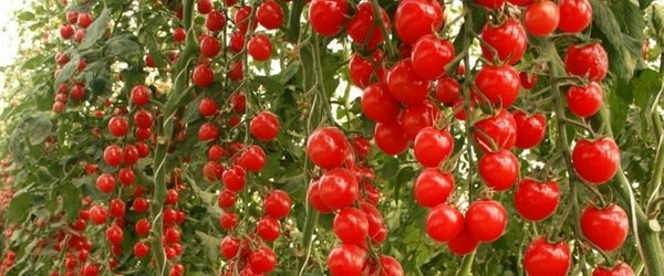 Любительское фото, показывающее высокую урожайность данных сортов томатов при правильном уходе