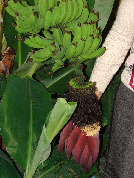 На фото - бананы выращенные в термотеплице
