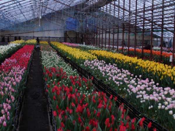 На фото – тепличное выращивание тюльпанов.