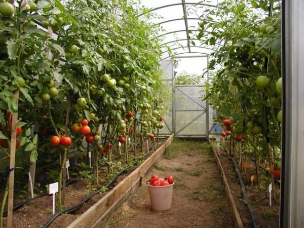 На фото – выращивание помидоров в тепличных условиях.