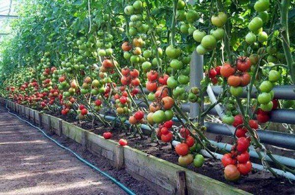 Очень внимательно изучите вопрос, какие овощи можно выращивать в одной теплице, чтобы не рисковать таким урожаем. Ошибка, совместное выращивание с помидорами капусты, может привести к потери и того, и другого