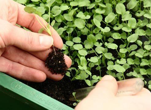 Пикировка: переводим растение из рассадника на грядку или в отдельный горшочек